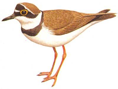 зуёк птица фото