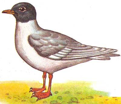 У птиц в зимнем оперении.
