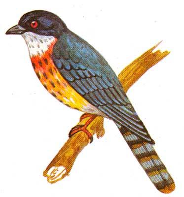 Ширококрылая кукушка - Hierococcyx fugax.  Немного мельче голубя.