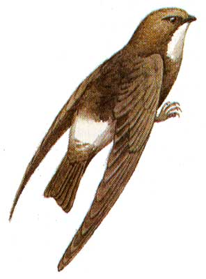 Малый стриж - Apus affinis.  Заметно мельче скворца.
