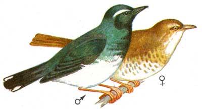 Описание: b птица семейства утиных.  Длина тела до 70 см
