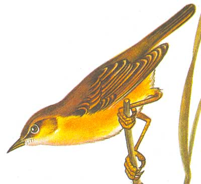 Болотная камышевка acrocephalus palustris