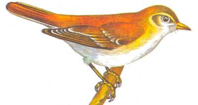 Толстоклювая камышевка phragmaticola aedon