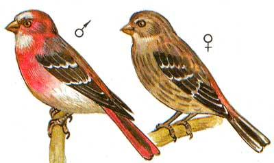 Чечевица сибирская (Carpodacus roseus) пара, фото фотография картинка...