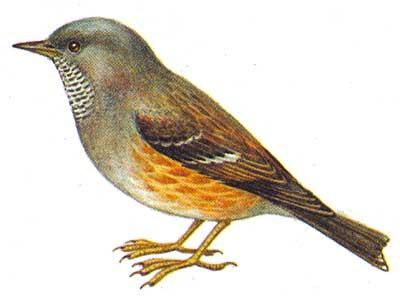 Ошейниковая совка otus bakkamoena леса юга