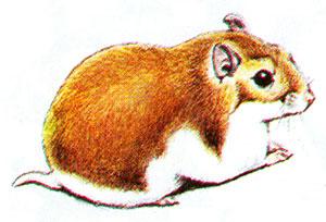 Монгольский хомячок [260] - Cricetulus curtatus