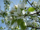 Весна. Яблоня цветёт.