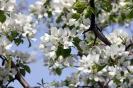 Сибирские груши цветут