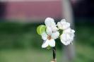 Цветение сибирских груш